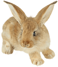 cute rabbit with enormous ears PNG