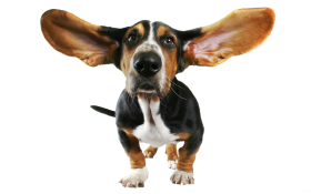 cute small dog with flying ears PNG
