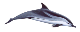 Cute swimming Dolphin PNG