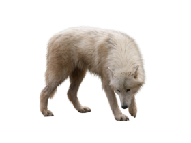 Cute Wolf Looking On The Ground PNG