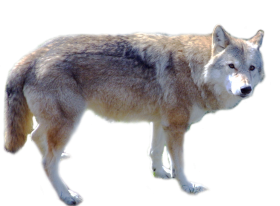 Cute Wolf Standing PNG
