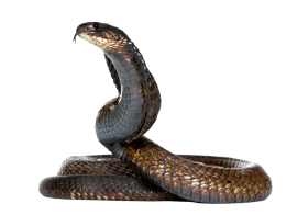 Dangerous Black Snake PNG