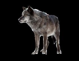 Dark Wolf PNG