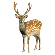 Deer looking into Camera PNG