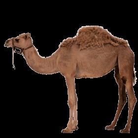 Desert Camel PNG