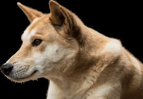 Dingo Face PNG