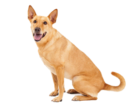 Dingo Sitting PNG