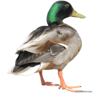 duck from behind PNG