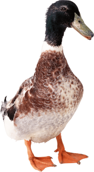 duck from front PNG