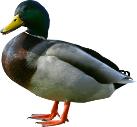 duck from side PNG