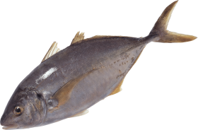 Fish swimming PNG