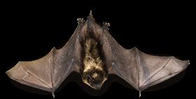 Flying Bat PNG