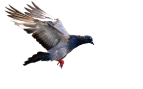 Flying pigeon PNG
