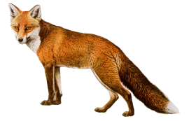 fox drawing PNG