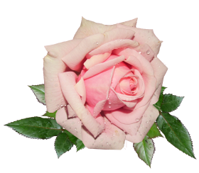 Fresh Pink Rose PNG