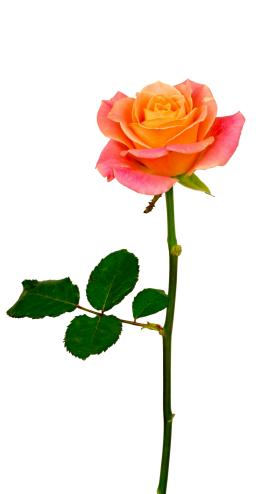 Fresh Rose PNG