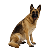 German shepherd dog PNG