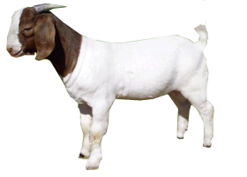 goat PNG