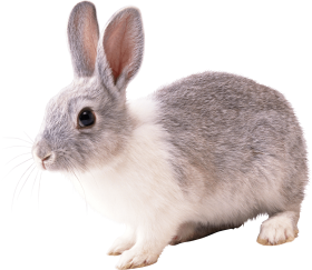 gray and white rabbit PNG