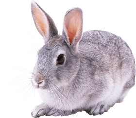 gray rabbit PNG