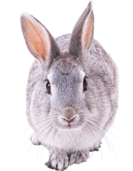 gray rabbit walking PNG