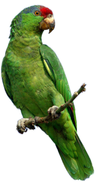 Green parrot PNG