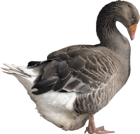 grey goose PNG