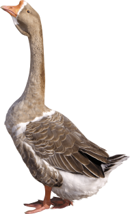 grey young goose PNG
