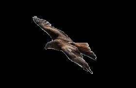 Hawk PNG
