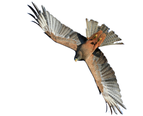 Flying Hawk PNG