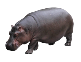 Hippo Standing PNG