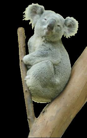 Koala Bear PNG