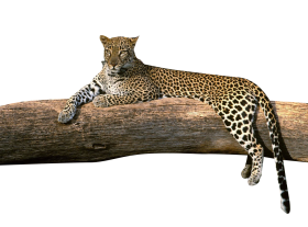 Leopard on a Tree PNG