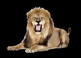 Lion roaring PNG