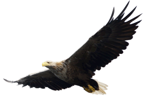 Majestic Bald Eagle flying PNG