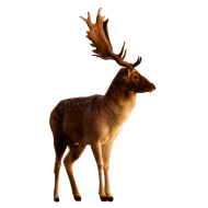 Male Deer looking to side PNG