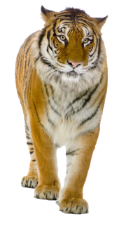 Male Yellow Tiger PNG
