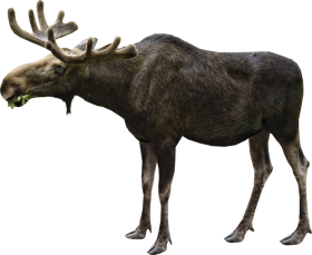 Moose Eating PNG