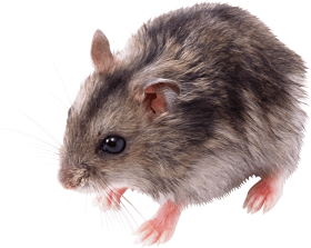 One Rat PNG