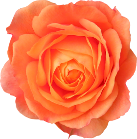 Orange Rose PNG