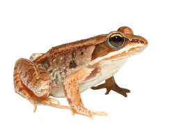 orange Toad PNG