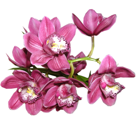 Orchid PNG