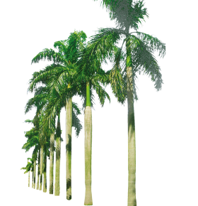 Palm Trees in a Row PNG