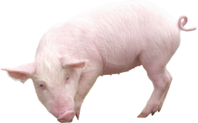 Pig from sideview PNG