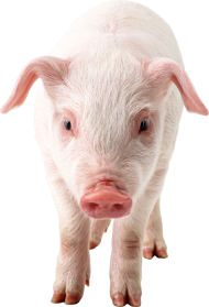 Pig frontview PNG