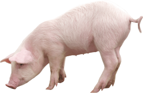 pink pig PNG