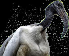 African Bird PNG