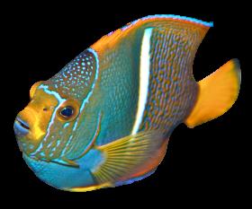 Angelfish PNG