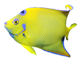 Angelfish PNG