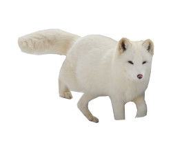 Arctic Snow Fox PNG